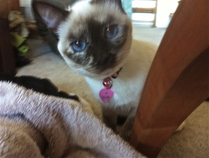 Lily the Crazy Siamese